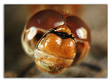 Часть глаза стрекозы
